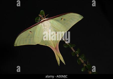 Indian Moon Moth Actias selene captive - Stockfoto