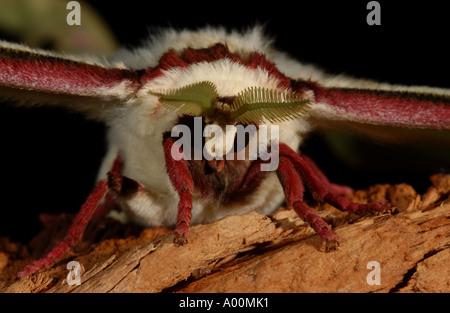 Indian Moon Moth Actias selene close up of head captive - Stockfoto