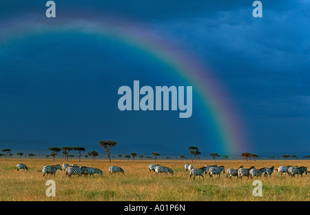 Burchells zebra Equus burchelli Migration on the plains of the Mara Maasai Mara Game Reserve with rainbow and stormy - Stock Photo