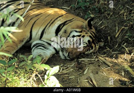 FEMALE BENGAL TIGER LAYING IN FOREST BANDHAVGARH INDIA Panthera Tigris Tigris  - Stock Photo
