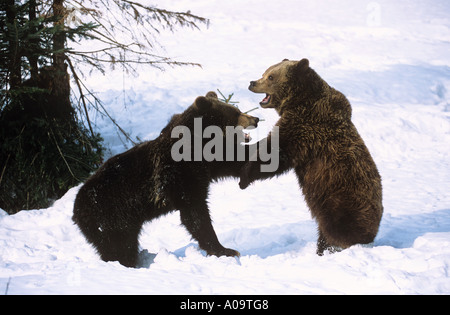 Brown bears ursus arctos two cubs waiting for fishing for Snow bear ice fishing