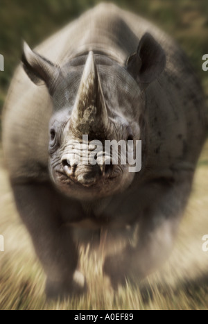 Charging black rhinoceros Kenya - Stock Photo