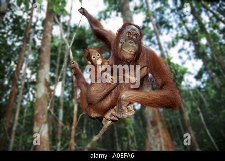 Mother and baby orangutan swinging through the trees Borneo - Stockfoto