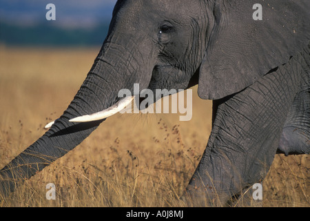 Africa Kenya Masai Mara Game Reserve Adult Female Elephant Loxodonta africanus walking through tall savanna grass - Stock Photo