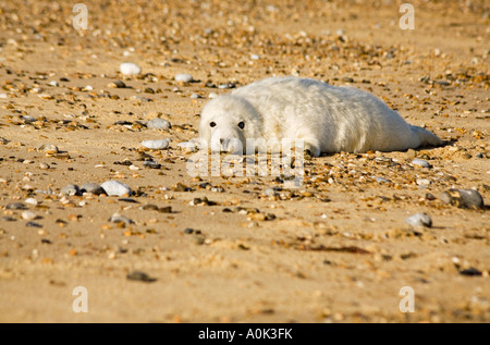 A Grey Seal pup resting on the beach at Horsey in north east Norfolk England - Stock Photo
