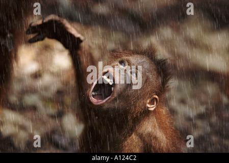 Young orangutan in the rain Borneo - Stockfoto