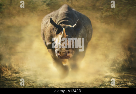 Charging black rhinoceros - Stock Photo