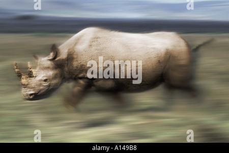 Charging rhinoceros - Stock Photo