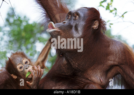 Mother and baby orangutan Borneo - Stockfoto