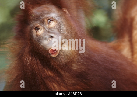 Young orangutan swinging through the trees Borneo - Stockfoto