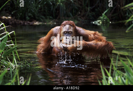 Immature male orangutan drinking Borneo - Stockfoto