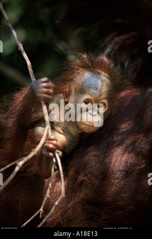 Baby orangutan with mother Borneo - Stockfoto