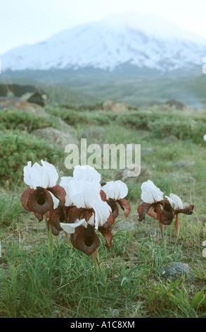 Oncocyclus bearded Iris (Iris iberica ssp. elegantissima), some individuals in front of ararat, Turkey, Turkey, - Stock Photo