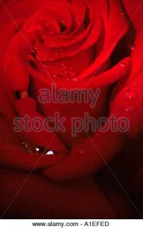 close up of red rose with water droplets - Stock Photo