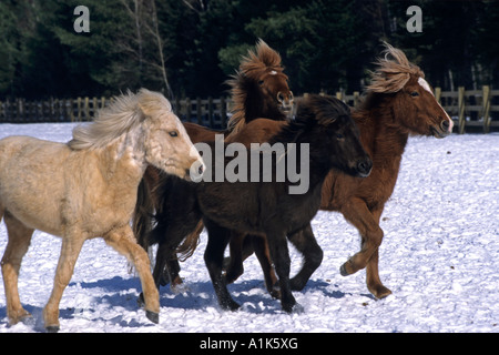 Icelandic horses frolic in the snow, New Brunswick, Canada - Stock Photo