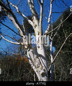 West Himalayan birch Betula utilis variety Jaquemontii leafless tree and white bark - Stock Photo
