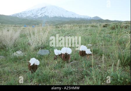 Oncocyclus bearded Iris (Iris iberica ssp. elegantissima), blooming in front of Ararat, Turkey, Turkey, East Anatolia, - Stock Photo