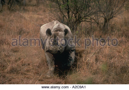 A Black Rhino diceros bicornis charging and kicking up dust in the brush - Stock Photo