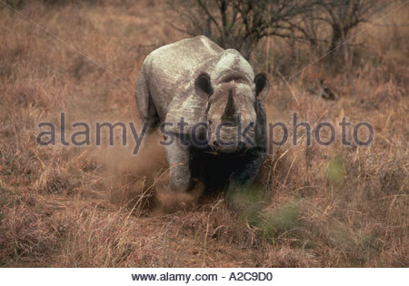 A charging Black Rhino diceros bicornis in the brush of South Africa stirring up dust clouds with his feet - Stock Photo