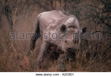 Blurred image of a Black Rhino diceros bicornis charging and stirring up dust in the brush of South Africa - Stock Photo