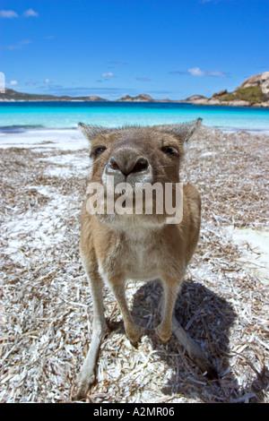 Kangaroo on beach at Lucky Bay Esperance Western Australia - Stock Photo