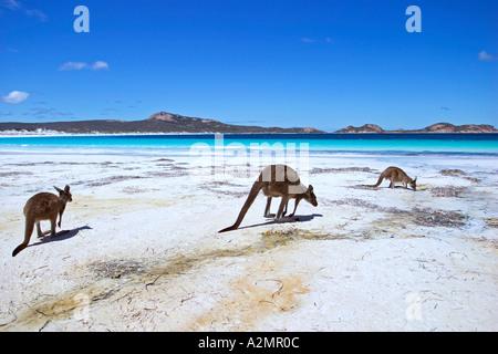Group of Kangaroos on beach at Lucky Bay Cape Le Grand national park Esperance Western Australia - Stock Photo