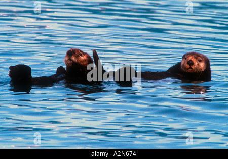 Two sea otters Alaska USA - Stockfoto