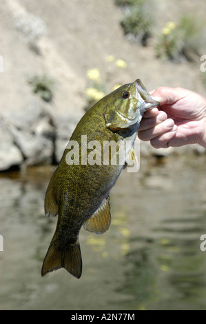 Smallmouth bass brownlee reservoir idaho stock photo for Bass fishing idaho