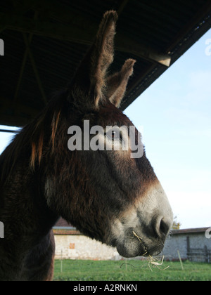 A close-up of a donkeys head, at a farm. - Stock Photo