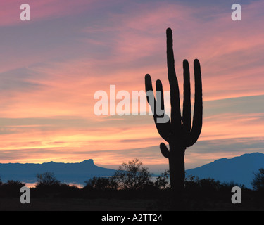 USA - ARIZONA: Giant Saguaro Cactus - Stock Photo