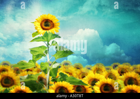 concept image of a tall sunflower standing out from the rest - Stock Photo