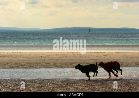 Dogs playing on beach - Stock Photo