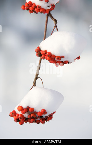Branch of snow covered rowanberries ( Sorbus Aucuparia ) - Stock Photo