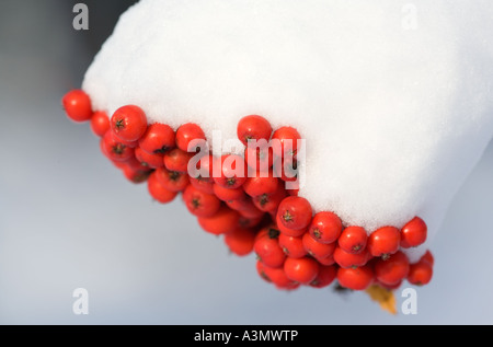 Bunch of snow covered rowan berries ( Sorbus Aucuparia ) - Stock Photo