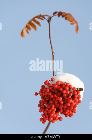 Single bunch of snow covered rowan berries ( Sorbus Aucuparia ) - Stock Photo