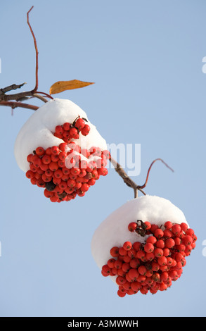 Two bunches of snow covered rowanberries ( Sorbus Aucuparia ) - Stock Photo