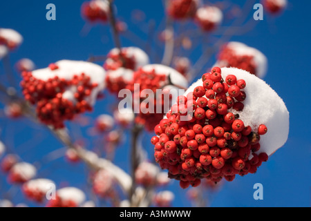 Bunch of snow covered rowanberries on leafless rowan tree ( Sorbus Aucuparia ) - Stock Photo