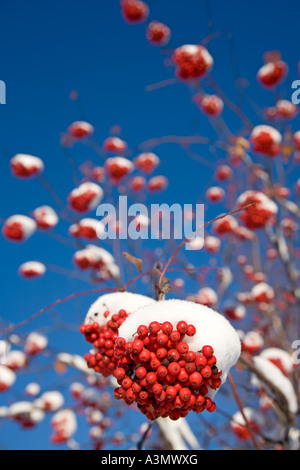 Bunch of snow covered rowan berries on a leafless rowan tree ( Sorbus Aucuparia ) - Stock Photo
