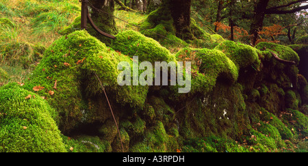 Moss covered wall in the Ariundle Oak forest. - Stockfoto