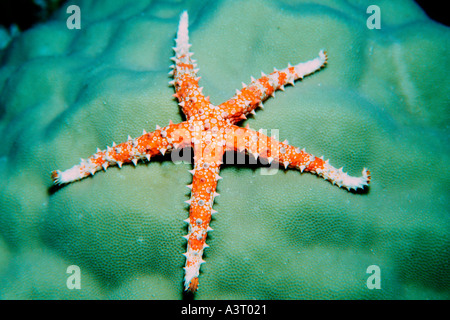 Sea star Gomphia sp Rongelap Marshall Islands North Pacific - Stock Photo