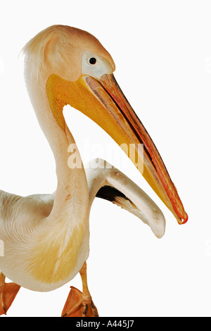 White Pelican. Pelecanus onocrotalus. Large birds that live in colonies. Have webbed toes and long flattened bill. - Stock Photo