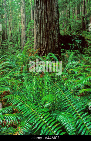 Old growth Redwood Forest Sequoia sempervirens Prarie Creek Redwoods State Park California USA - Stock Photo