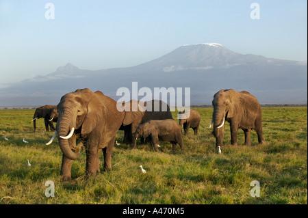 African elephant Loxodonta africana Elephant herd with Kilimanjaro mountain in the background Amboseli National - Stock Photo