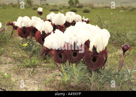 bearded iris (Iris elegantissima, Iris iberica ssp. elegantissima), group of blooming plants, Turkey, East Anatolia, - Stock Photo