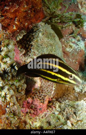 Pacific Steephead Parrotfish Chlorurus Microrhinos Namu