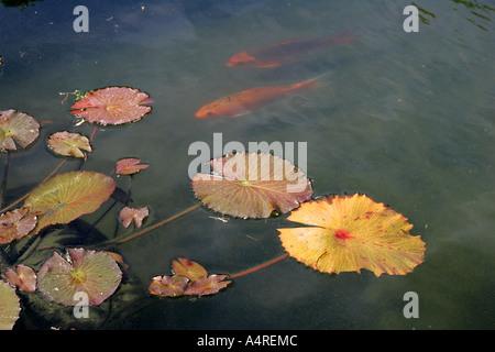 Lily flower in little pond leaves golden fish aquarium for Fish tank vs pond
