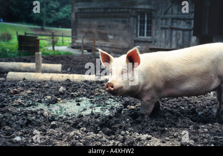Swiss pig farm stock photo royalty free image 20341130 for Domestica in svizzera