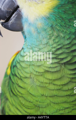Feathers of parrot - Stock Photo