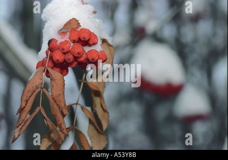 Snow covered mountain ash bunch Altai Siberia Russia - Stock Photo