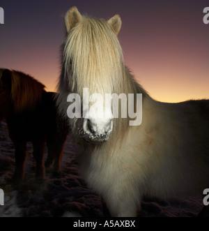 Icelandic  Pure Breed Horse, Winter Coat, Iceland - Stock Photo